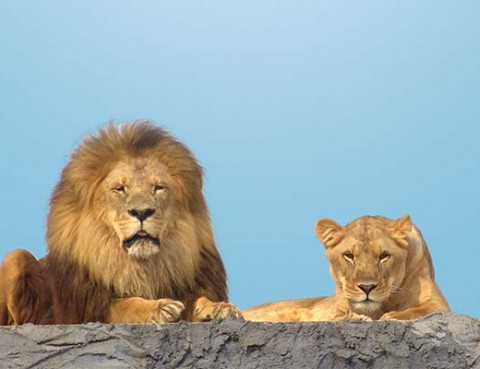 lions_pride-of-lions